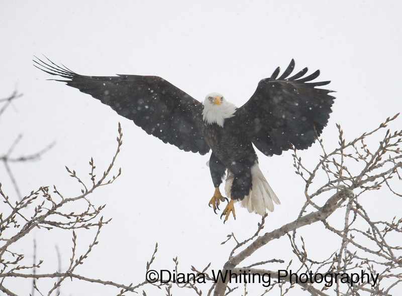 Bald eagle 11.jpg