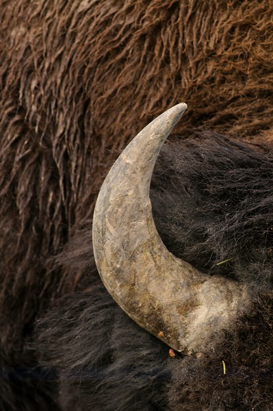 Bison horn Yellowstone _MG_3448.jpg