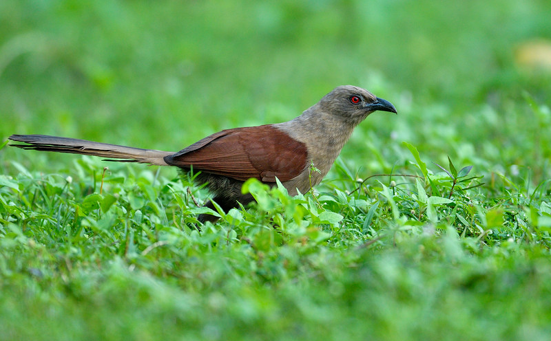 Andaman-Coucal.jpg