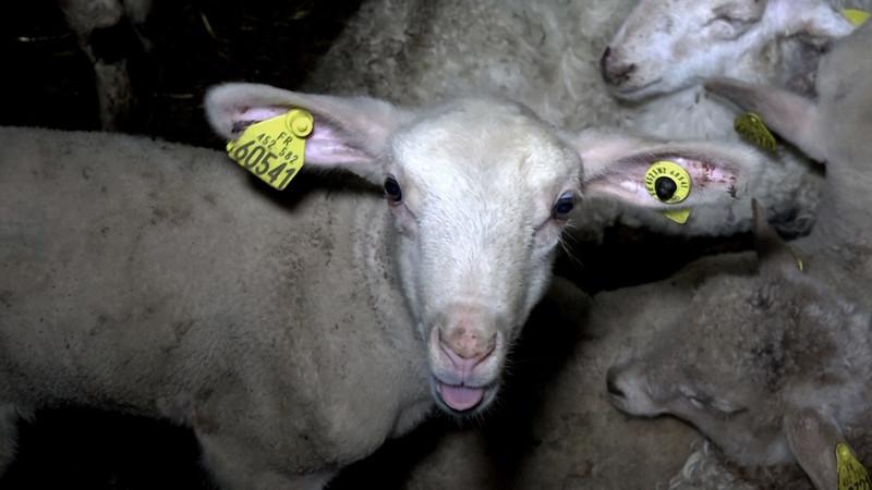agneau-bouverie-abattoir-mauleon.jpg