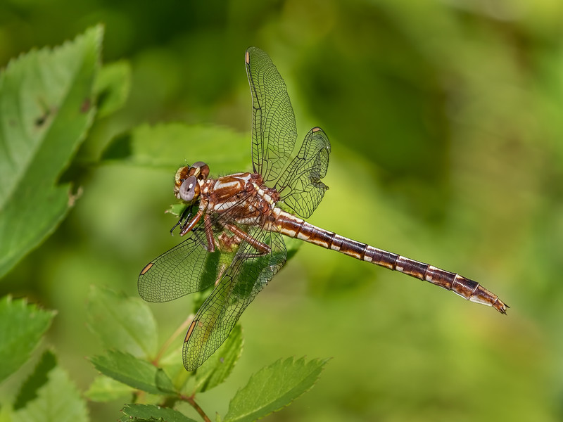 Female, Ramsey Run, First State National Historic Park, DE