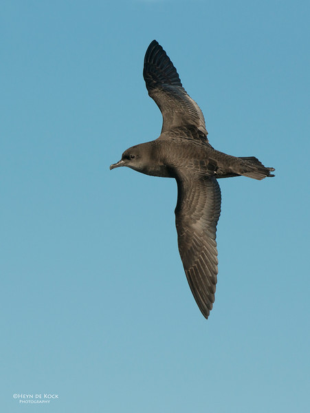 Short-tailed Shearwater, Wollongong Pelagic, Oct-1 .jpg