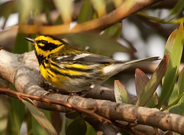Townsend's Warbler Setophaga townsendi