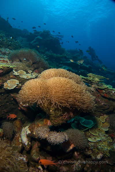 Sponge Corals at Manuk, Banda Sea © Chris Mitchell