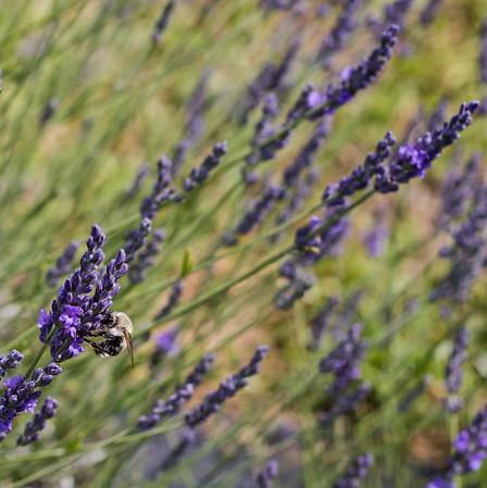 Lookout Lavender Farm