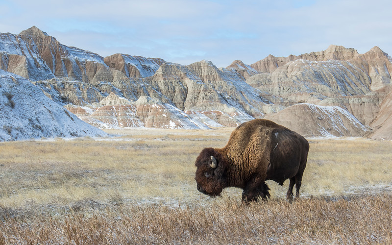 Badlands Bison_GM1A6516.jpg