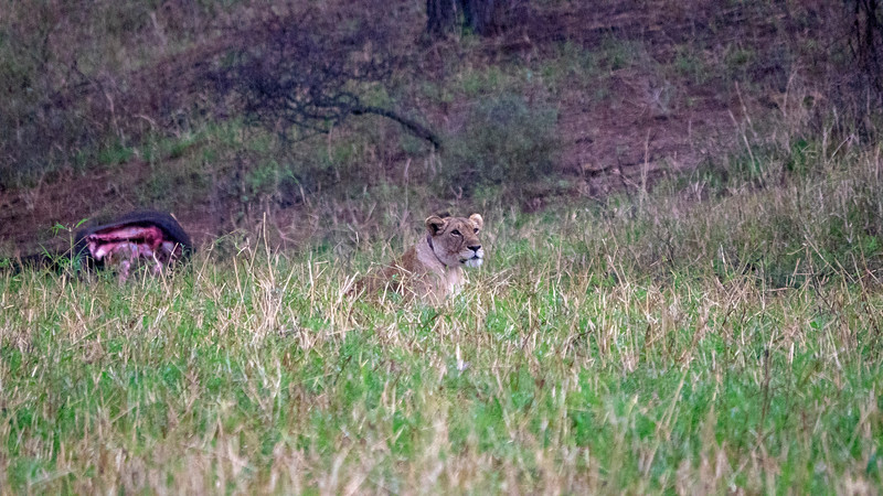 Tanzania-Tarangire-National-Park-Safari-Lion-02.jpg