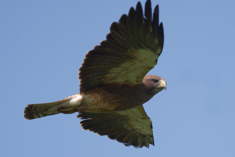 Swainson's Hawk dark morph adult (16) at Firebaugh, CA (07-18-2009)
