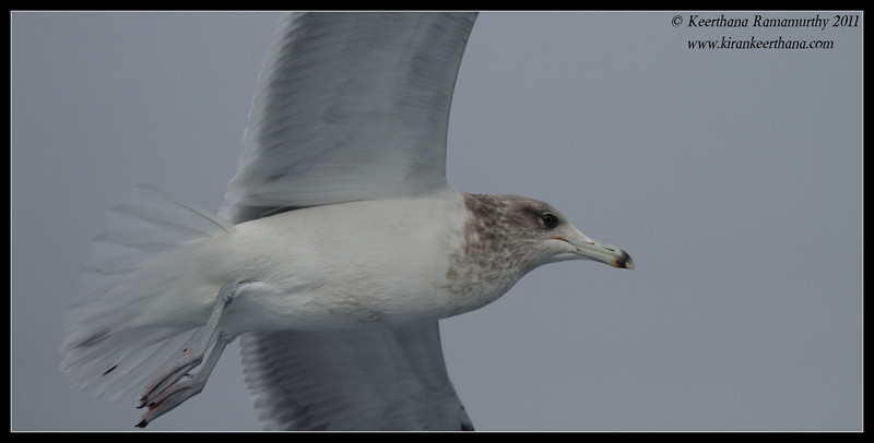 California Gull, SDFO Jan 1st Pelagic Trip Pacific Ocean, San Diego County, California, January 2012