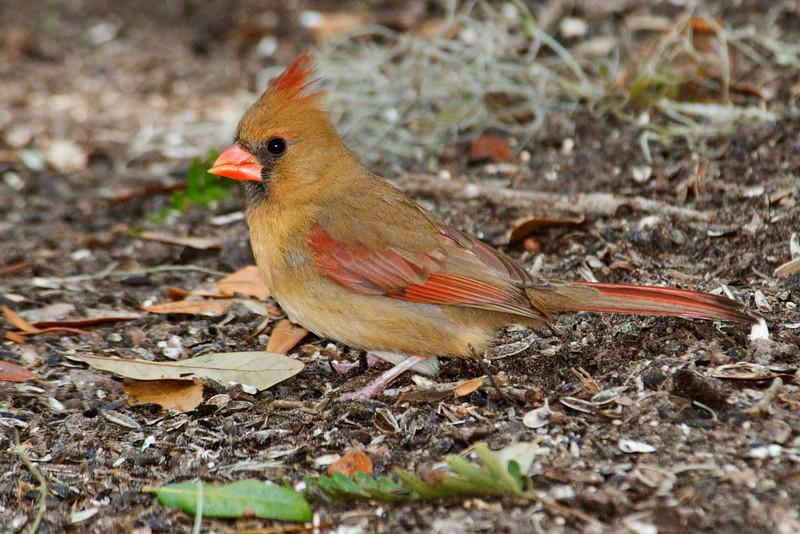 Cardinal - Northern - female - Jekyll Island, GA - 02