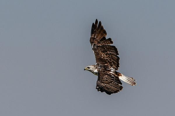 8-18-17 **Krider's Hawk - subspecies of Red-tailed Hawk