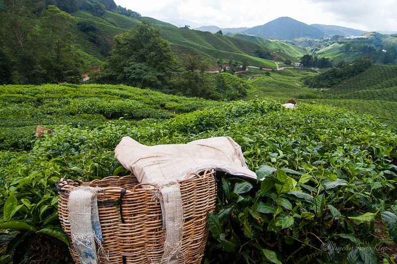 Tea collecting basket