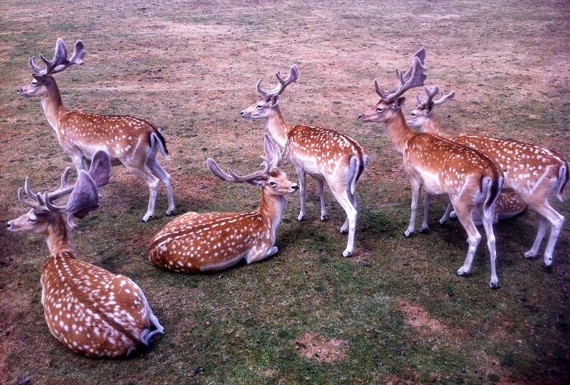 Family of Deers