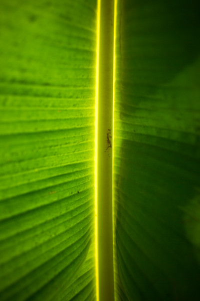 Sunlight illuminates the inside of a plantain leaf. Plantains are a staple in the Ghanaian diet and find their place in almost every meal.