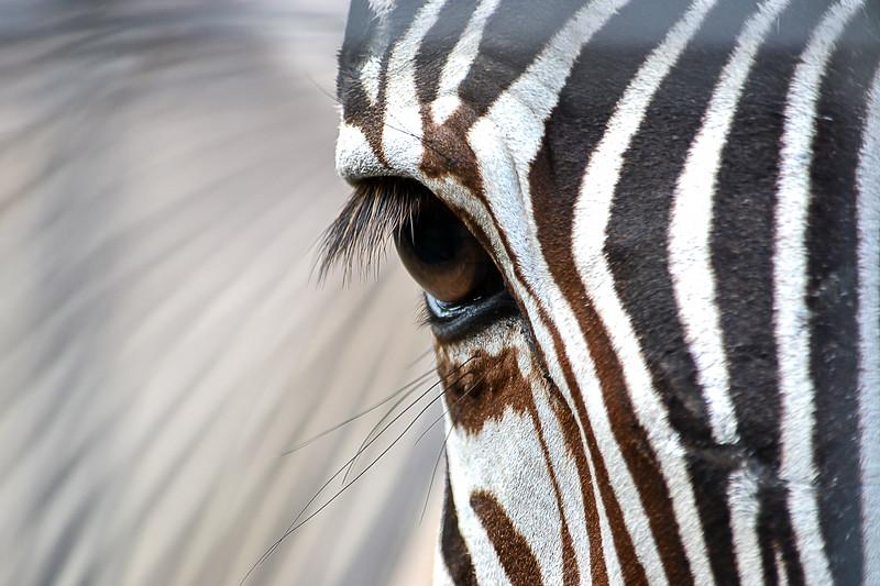 92_ZebraSeesAll.jpg