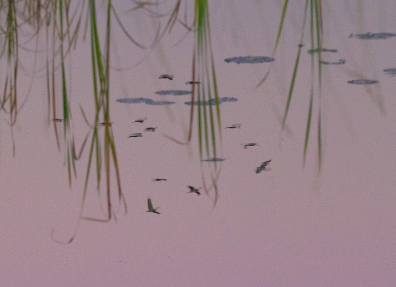Sandhill Crane flock fly-in reflection Crex Meadows Grantsburg WI IMG_0104.jpg