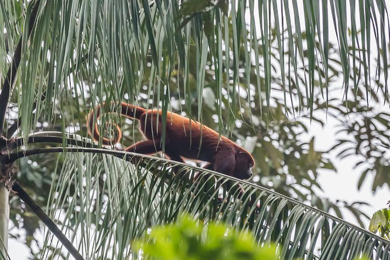 Napo Wildlife Center - Red Howler Monkey - Lina Stock