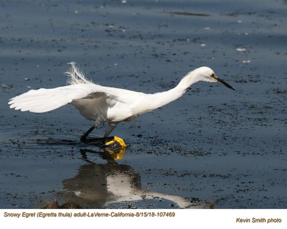 Snowy Egret A107469 .jpg