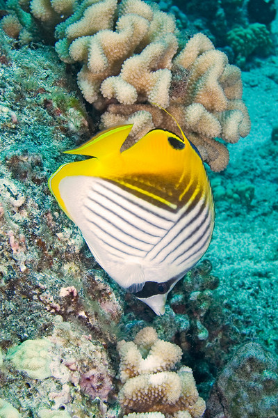 Threradfin Butterfly .jpg