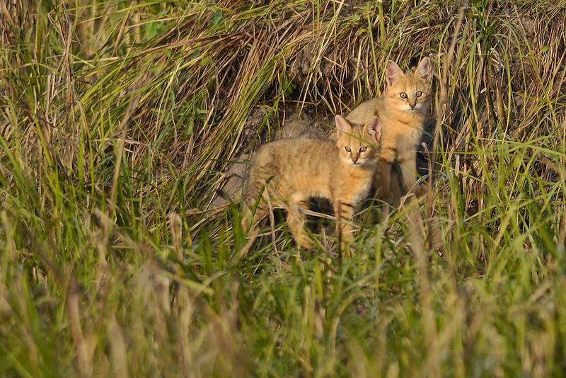 Jungle-Cat-Kittens.jpg