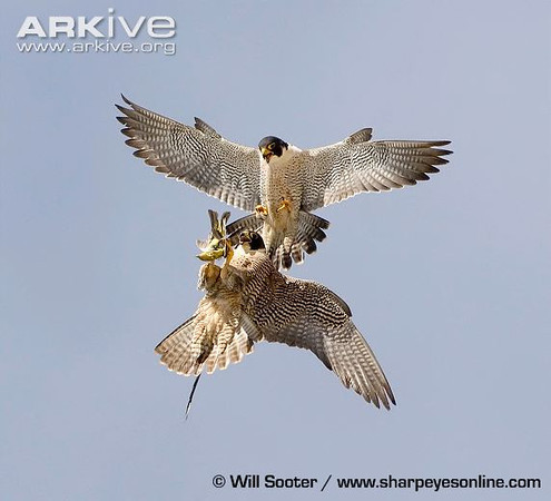 Photo from ARKive of the Peregrine falcon (Falco peregrinus) - http://www.arkive.org/peregrine-falcon/falco-peregrinus/image-G53399.html