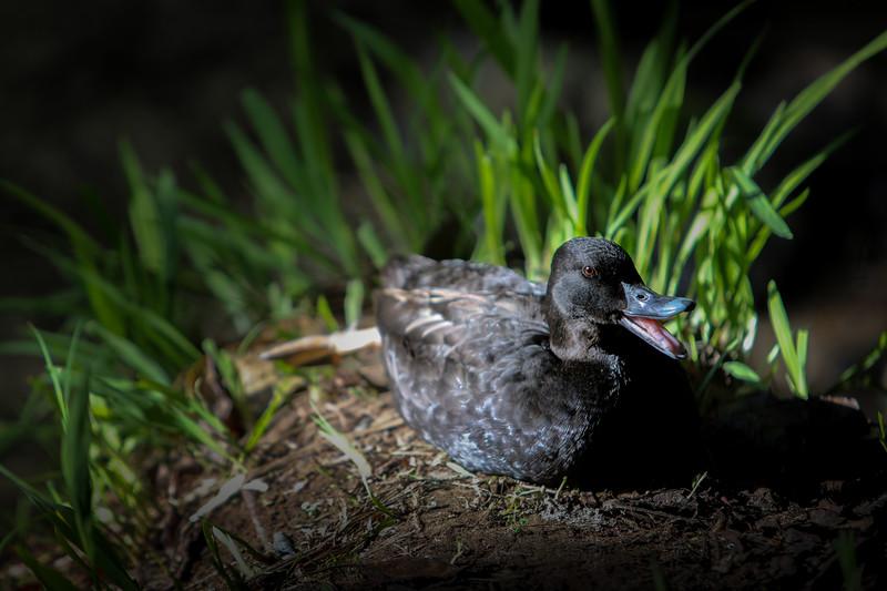 New Zealand Scaup Duck