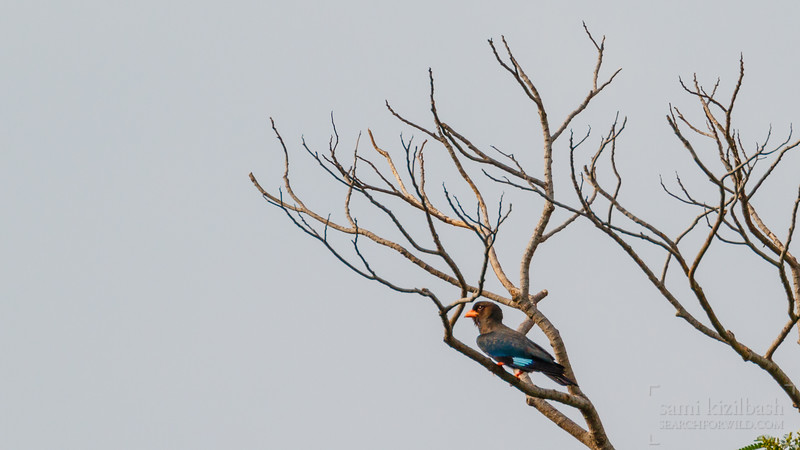 Oriental Dollarbird 2.jpg