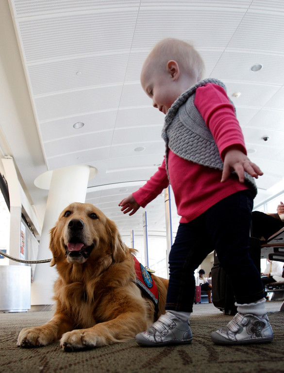 """. \""""Therapy dog\"""" Henry James draws the attention of 14-month-old Claire Rak, preparing to fly home to Denver with her parents at Mineta San Jose International Airport in San Jose, Calif. on Monday, Jan. 28, 2013. (Karl Mondon/Staff)"""