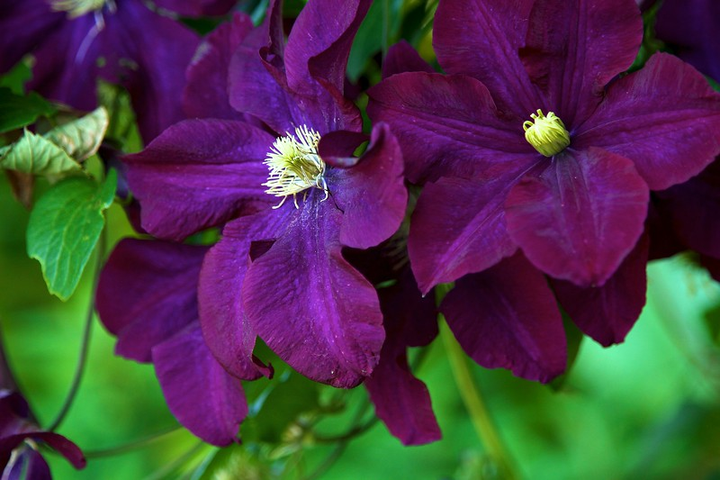 The garden today on July 7, 2012 Another beautiful clematis doing well this year