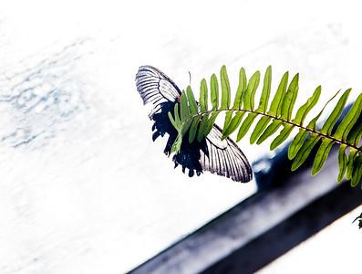 vlindert