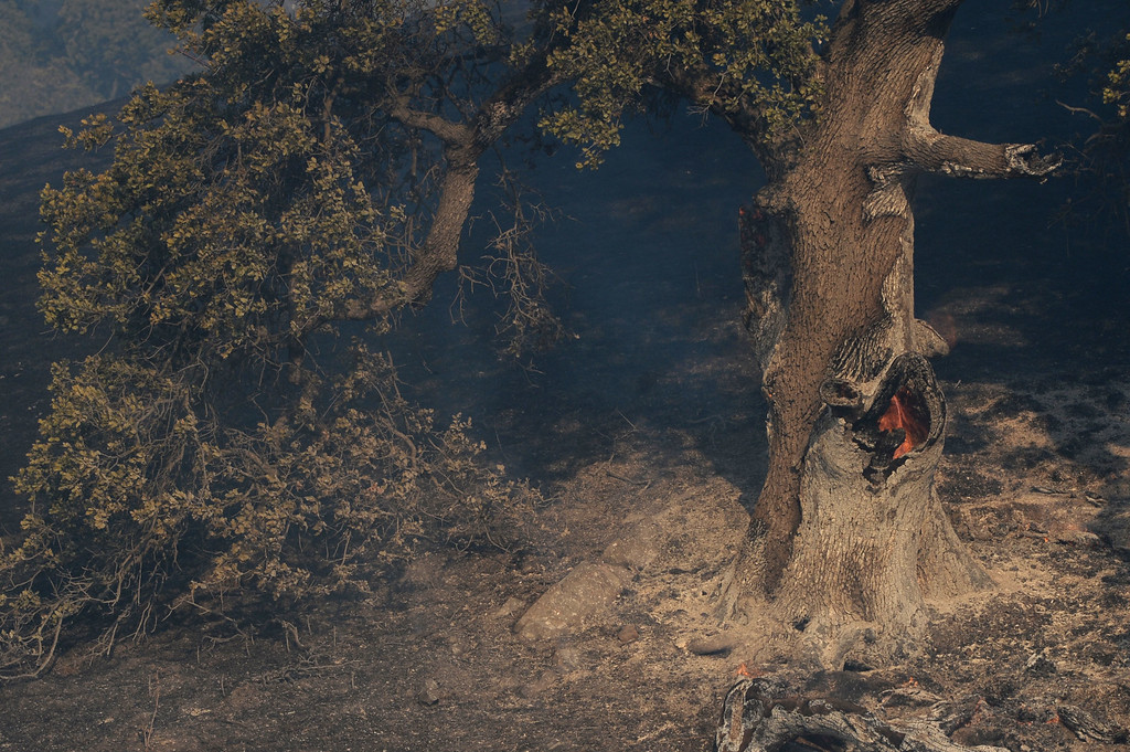 . Fire burns inside a hollowed out oak tree up a canyon near Foothill Drive in Antioch, Calif., on Wednesday, June 24, 2015. (Susan Tripp Pollard/Bay Area News Group)