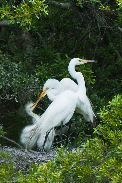 Great Egrets of Awendaw