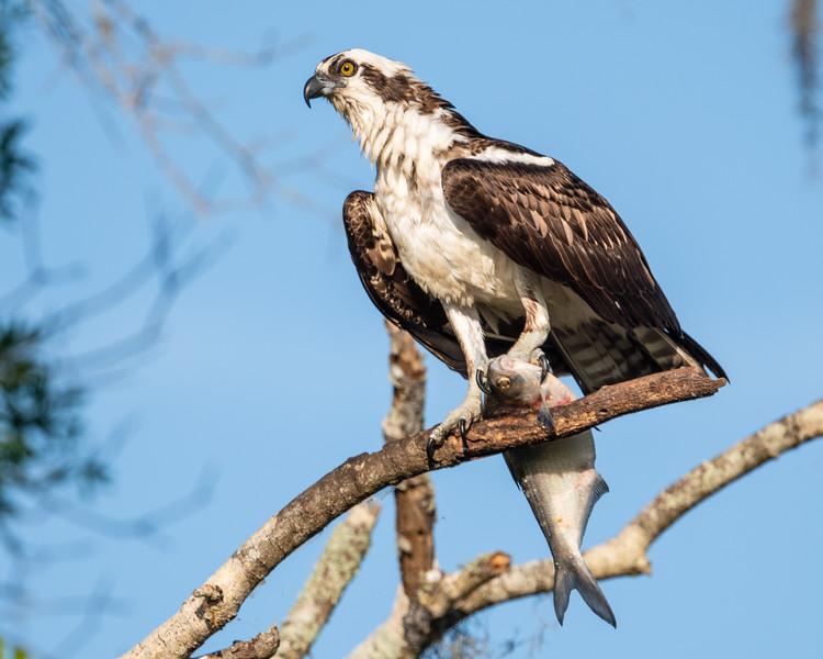 Osprey  & Fish_500_7288.jpg