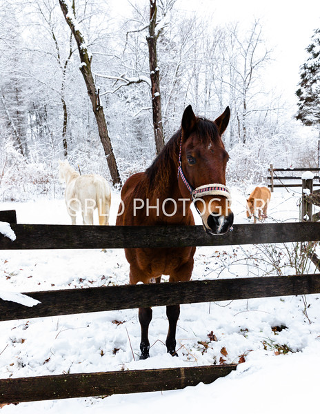 202101032021_1_3 Neighborhood_Horses_Snow_Barn_Trail028--2.jpg