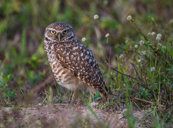 Burrowing Owls - Cape Coral, Florida  2016