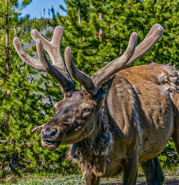 Yellowstone_Elk-1.jpg