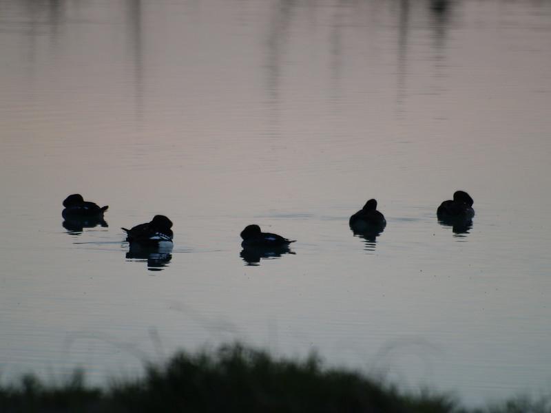 Golden-eye Barrows sleeping on Mendenhall Lake.