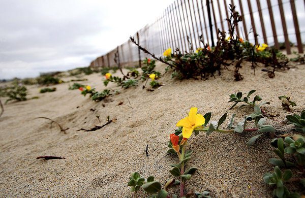 One more flower in the sand.  This was at Bolsa Chica State Park.  For a small fee people can camp out in their RVs ... the Pacific as their backyard. Not a bad deal ... even in winter.