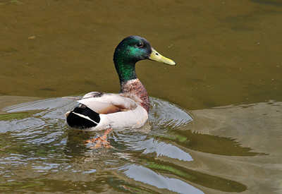 Duck - Mallard