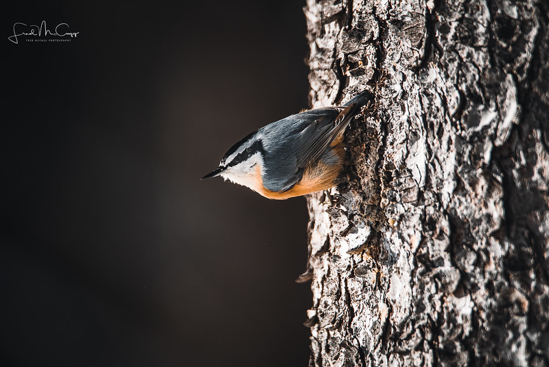 RB Nuthatch with logo.jpg