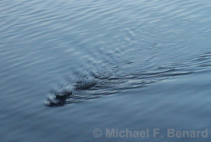 American Alligator swimming at sunset