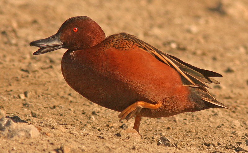 WB~Cinnamon Teal Radio Roadportraitstep1280.jpg