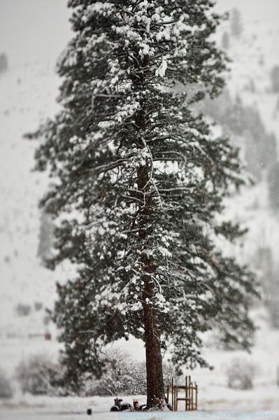 Tree & Snow