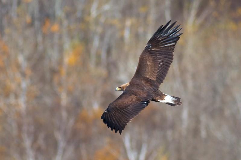 Golden Eagle immature Hawk Ridge Summit Ledges Duluth MN IMG_4152.jpg