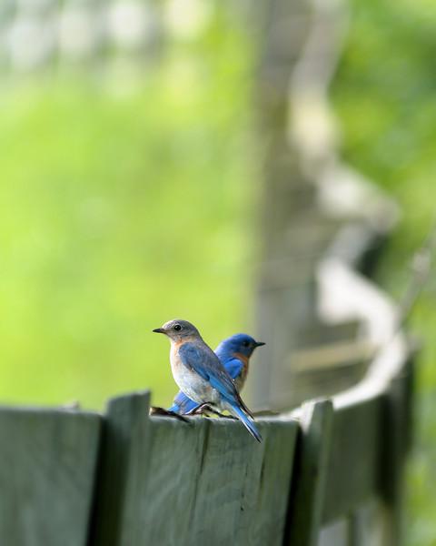 Eastern Bluebird.    Female (foreground), Male (background)