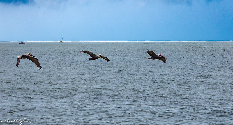 1279 E P Pelicans Flying.jpg