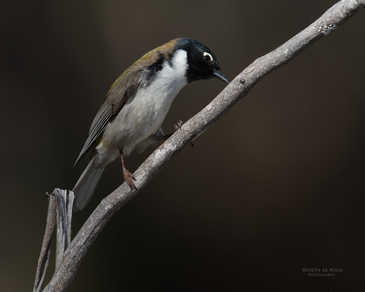 Black-headed Honeyeater, Bruny Island, TAS, Sept 2016-1.jpg
