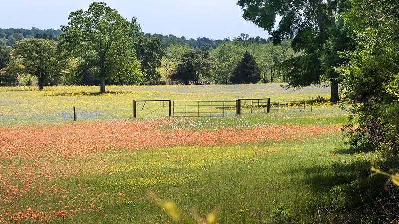 Texas spring wildflower mix