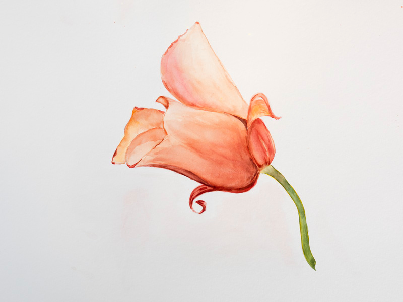 Orange Mariposa lily