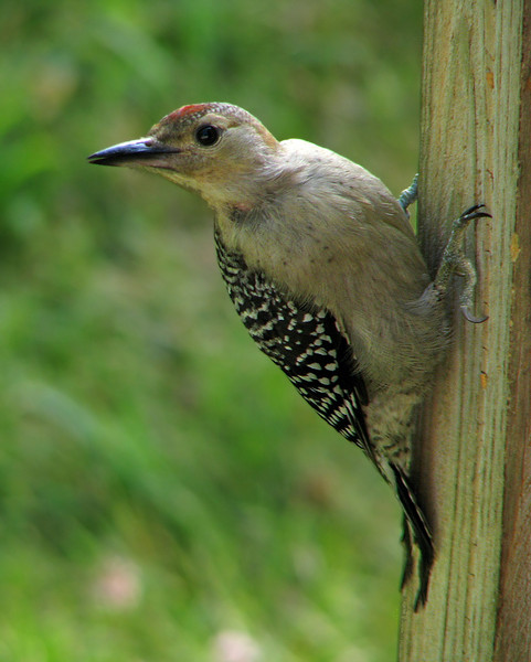 red_bellied_woodpecker_fledgling_7569.jpg